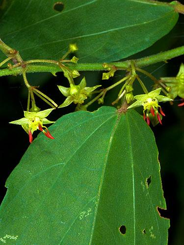 Specimen: Byttneria aculeata