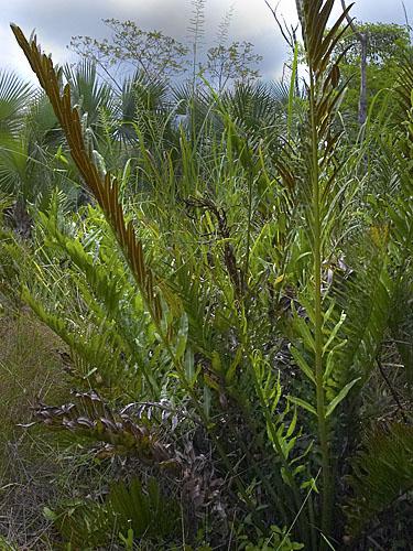 Specimen: Acrostichum danaeifolium