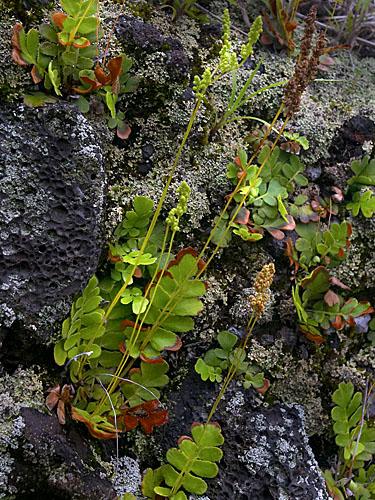 Specimen: Anemia oblongifolia