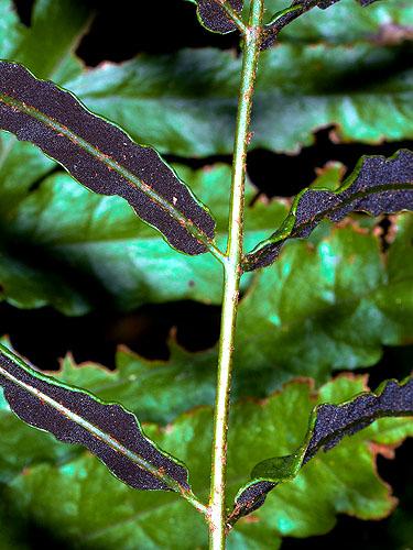 Specimen: Bolbitis portoricensis