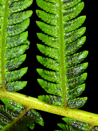 Specimen: Cyathea costaricensis