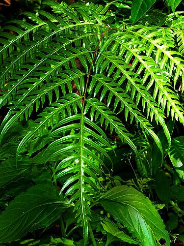 Specimen: Pteris altissima