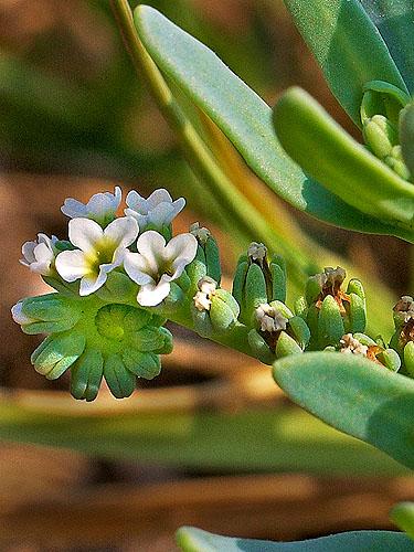 Specimen: Heliotropium curassavicum