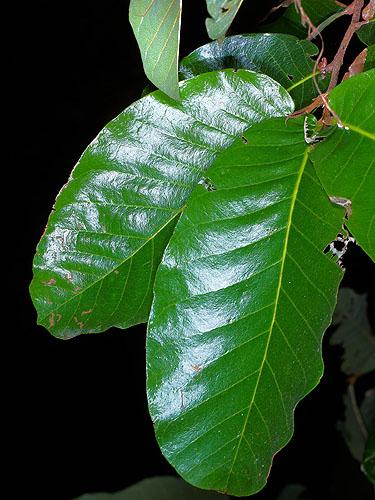 Specimen: Quercus segoviensis