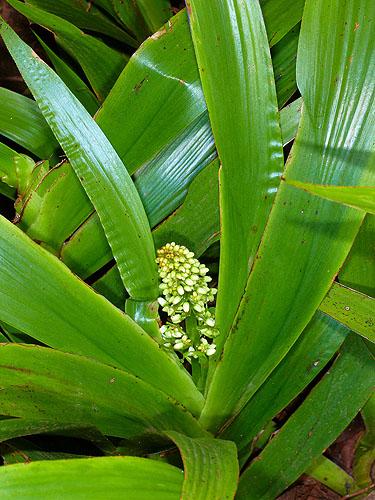 Specimen: Xiphidium caeruleum