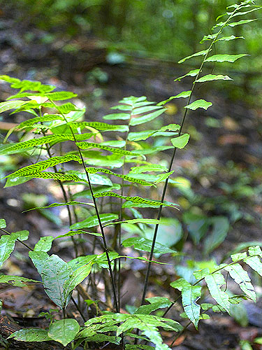 Specimen: Diplazium grandifolium