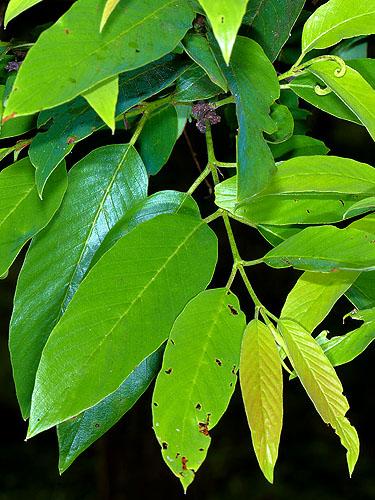 Specimen: Karwinskia calderonii