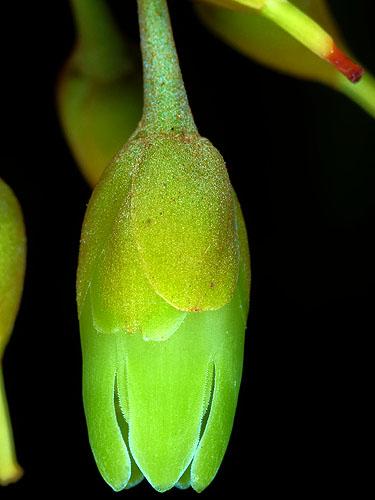 Specimen: Pouteria campechiana