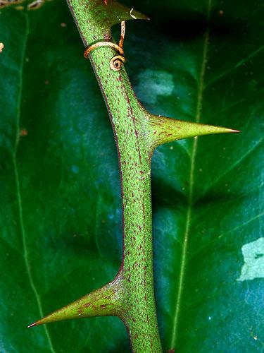 Specimen: Smilax spinosa