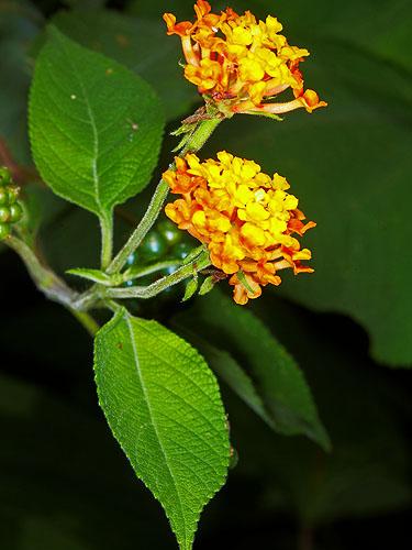 Specimen: Lantana urticifolia