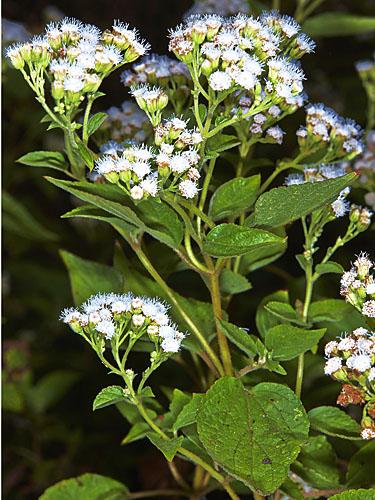 Specimen: Ageratina pichinchensis