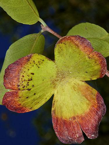 Specimen: Semialarium mexicanum