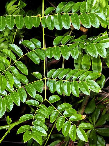 Specimen: Caesalpinia bonduc