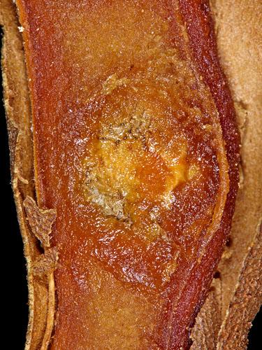 Specimen: Tamarindus indica