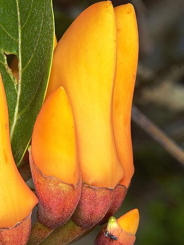 Specimen: Erythrina fusca