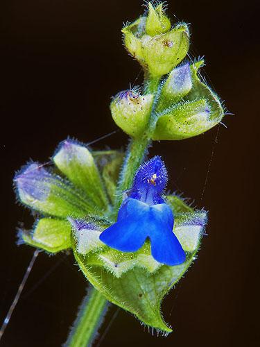 Specimen: Salvia mocinoi