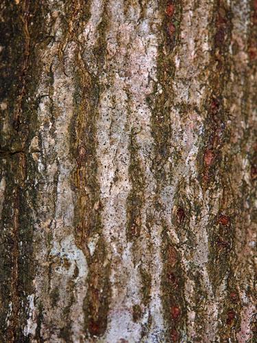 Specimen: Talipariti tiliaceum
