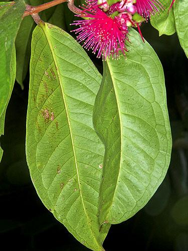 Espécimen: Syzygium malaccense