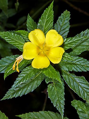 Specimen: Turnera ulmifolia