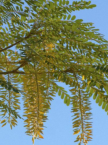 Specimen: Alvaradoa amorphoides