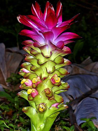 Specimen: Curcuma zedoaria