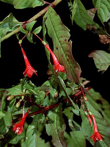 Espécimen: Fuchsia tincta