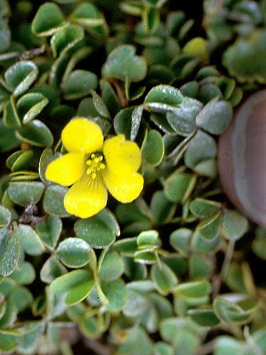 Specimen: Oxalis lotoides