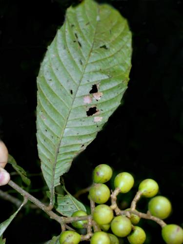 Specimen: Meliosma frondosa
