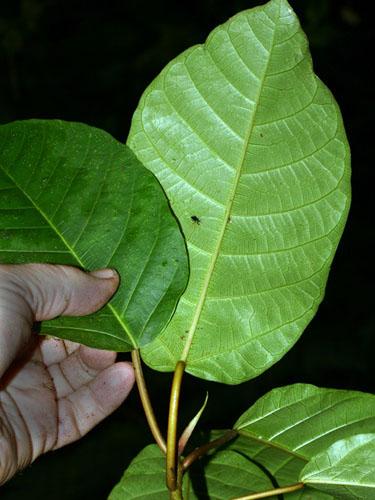 Specimen: Ficus macbridei