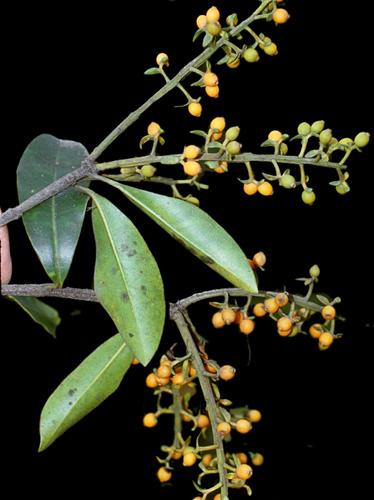 Specimen: Gaiadendron punctatum