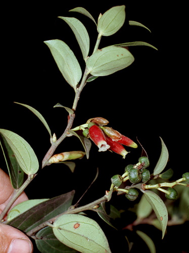 Specimen: Cavendishia bracteata