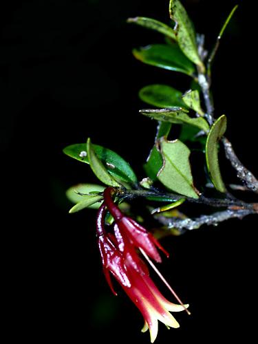 Specimen: Ceratostema oellgaardii