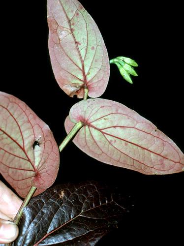 Espécimen: Ceratostema peruvianum