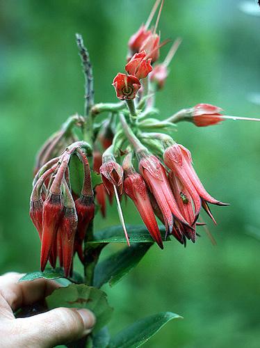 Specimen: Ceratostema peruvianum