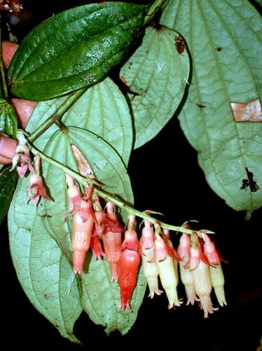 Specimen: Psammisia ferruginea
