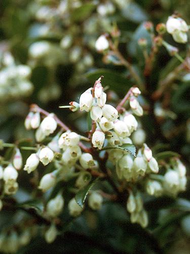 Espécime: Vaccinium consanguineum