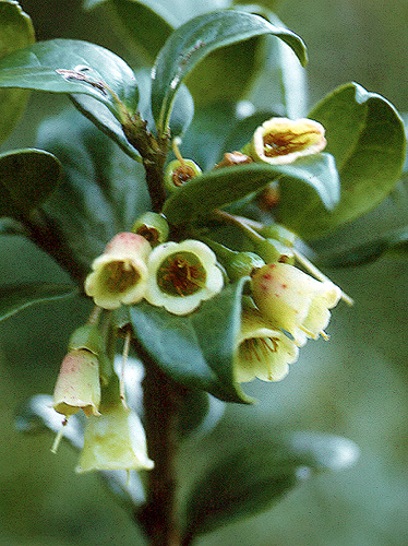 Specimen: Vaccinium poasanum