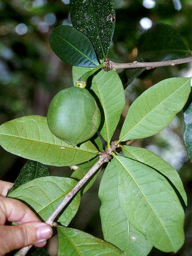 Specimen: Amphitecna latifolia