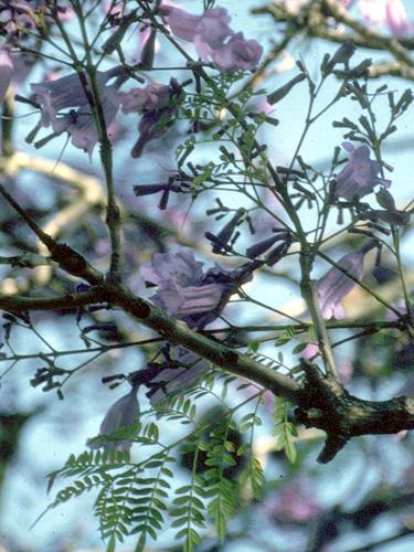 Specimen: Jacaranda acutifolia