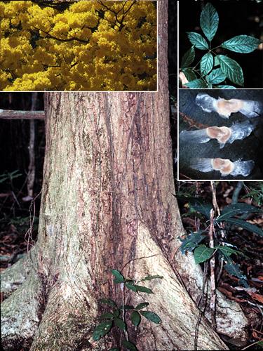 Espécime: Handroanthus guayacan
