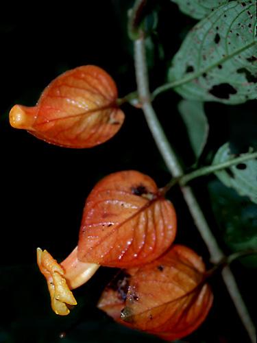 Espécime: Drymonia hoppii