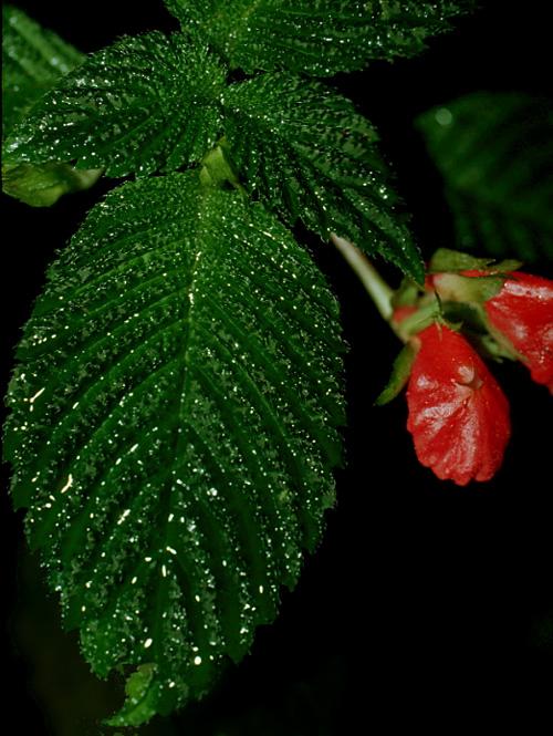 Specimen: Gasteranthus quitensis