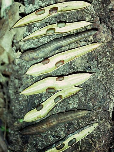 Specimen: Erythrina ulei