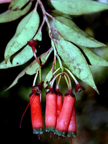 Specimen: Ceratostema oyacachiensis