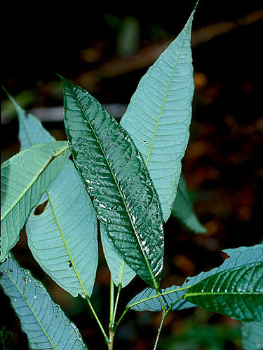 Specimen: Amyris crebrinervis