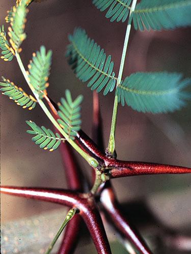 Specimen: Vachellia collinsii