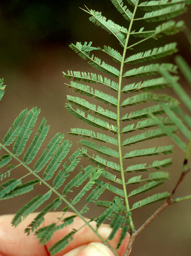 Specimen: Vachellia pennatula
