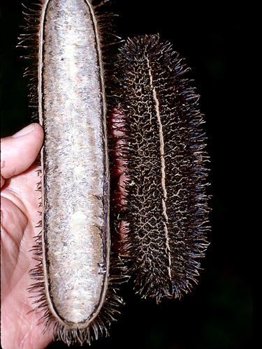 Specimen: Bignonia sciuripabulum