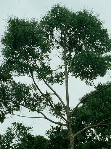 Specimen: Vochysia guatemalensis