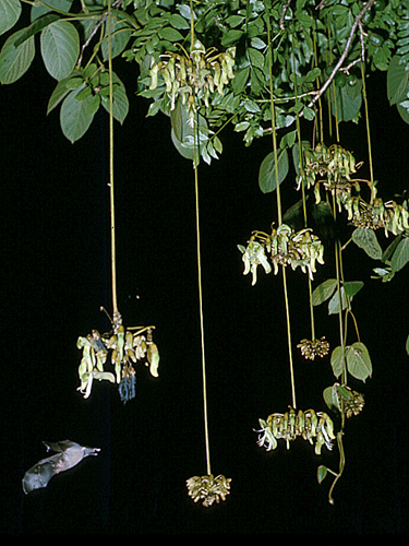 Specimen: Mucuna holtonii